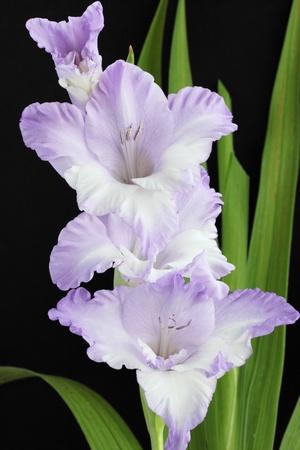 Beautiful violet gladiolus against the black background