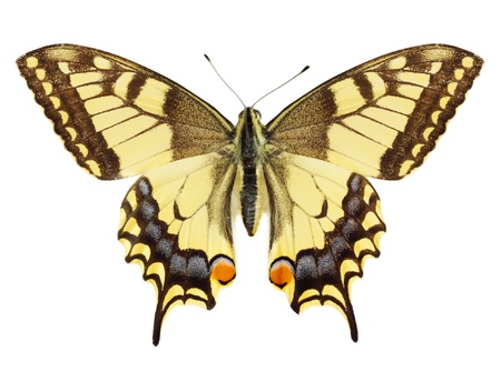 Beautiful yellow butterfly against the white background