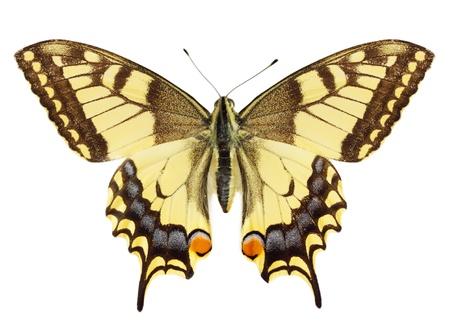 butterflies flying: Hermosa mariposa amarillo sobre el fondo blanco Foto de archivo