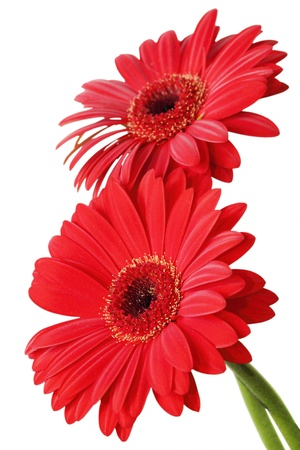 two beautiful bright red Gerbers on the white photo