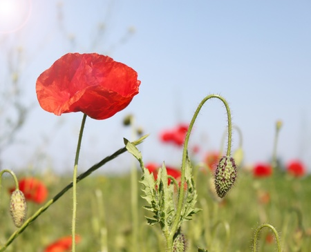 Red field poppy with the unopened bud Stock Photo - 9388926