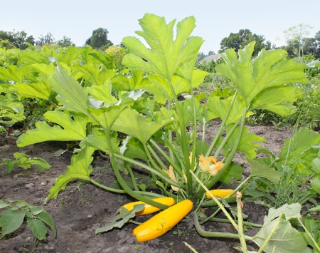 Large bush yellow zucchini  on the bed Stock Photo