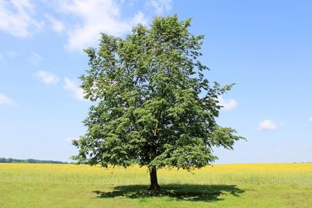 linde: einsam Linden auf dem Land in der Wiese