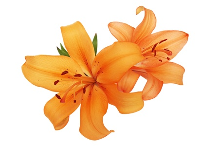 single leaf:  orange lilies are isolated against the white background