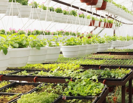 Young plants are grown in the hot-house