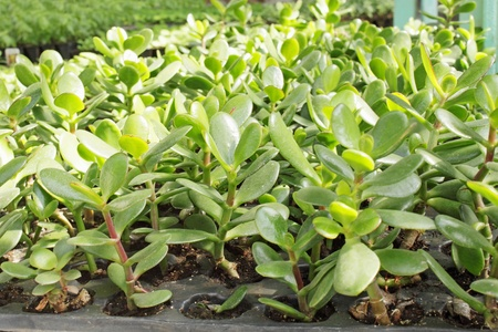 There are many young seedlings of jade photo