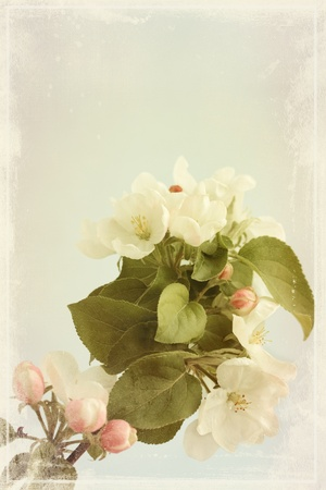 Branch of apple tree with the white flowers  old photo photo