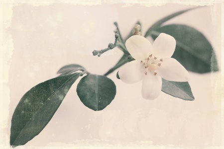 flower of the exotic Japanese emperor tree Murraya  old paper  photo