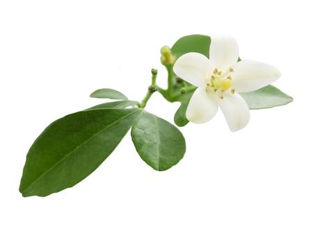 White flower of the exotic Japanese emperor tree Murraya