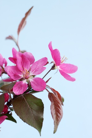 Branch of wild apple tree with the violet flowes photo