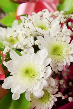 georgina: Beautiful small chrysanthemum varieties Axima White, toned
