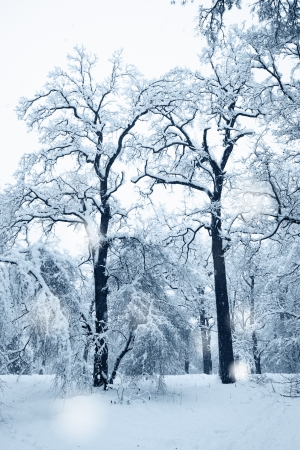 Two old oak trees in the snow, winter landscape photo