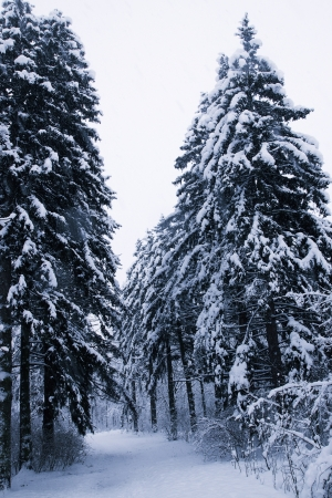 Alley in the snow with huge old pine trees photo