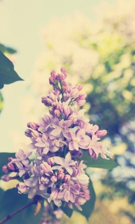 Beautiful blooming lilac bush in the garden, tinted Archivio Fotografico