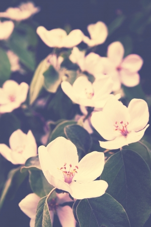 Beautiful blooming quince bush in the garden, retro photo