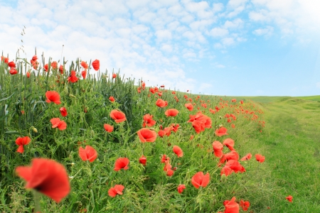 field of red poppies blooming, summer landscape photo