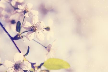 old macro: Primavera flores de cerezo en un d�a soleado Foto de archivo