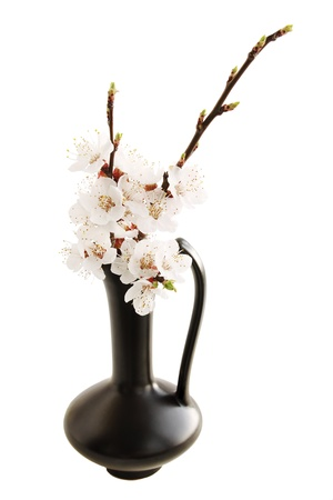 Spring ikebana white apricot blossoms isolated on white photo