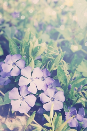 Periwinkle Vinca blue spring flowers in the forest photo
