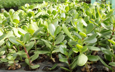 jade plant: Young plant seedlings in the greenhouse jade tree