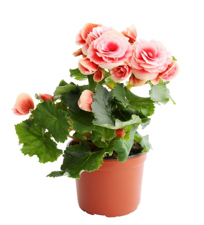 Flower blooming in a pot, pink begonia