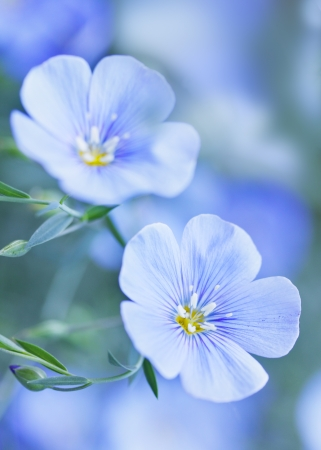 Blue flax flowers, tinted in blue tones Archivio Fotografico