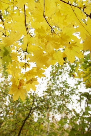 Bright yellow autumn maple leaves in the forest photo