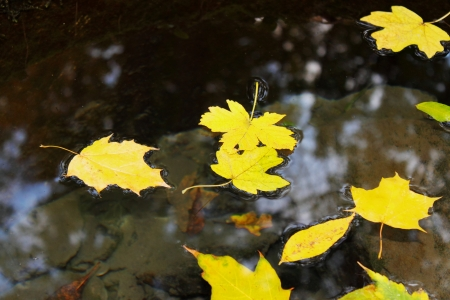 autumn yellow leaves floating in the water photo