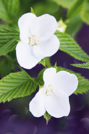 temperate: White flowers and fruit shrubs in the garden