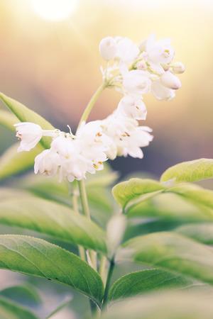 temperate: White flower ornamental shrubsin the garden Stock Photo