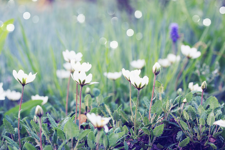 temperate:  small white flowers on the lawn in the garden Stock Photo