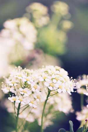 ornamental shrub spirea flowers with white inflorescences Stock Photo
