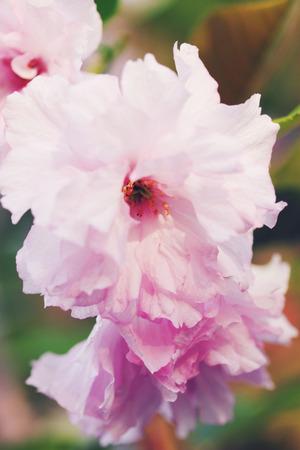 Luxuriantly blooming pink cherry blossoms, Japanese sakura photo