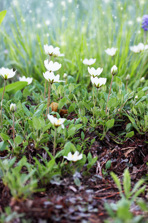 small white flowers on the lawn in the garden photo