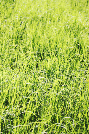 Juicy spring greens in the sun, the grass photo