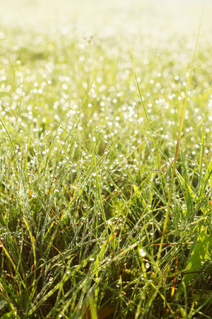 Spring Morning grass with dew, the background photo