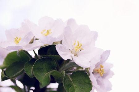 Beautiful blooming flowers on apple tree branch photo