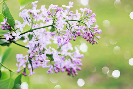 Wild lilac branch on a green background photo