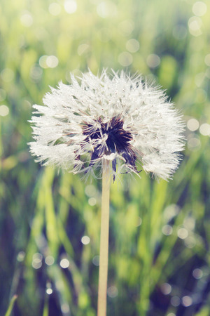 white dandelion growing on the field photo
