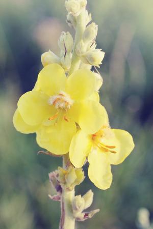 Herb mullein flower growing in a field