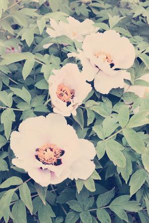 peony tree: Grande fiore bianco sbocci� albero di peonia, colorato