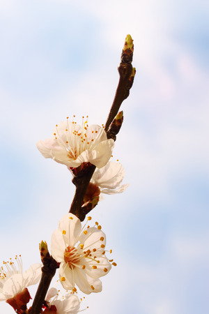 blooming branch apricot with flowers  photo
