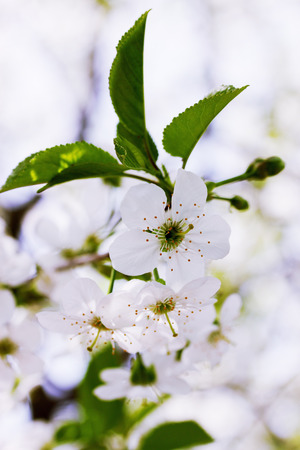 Beautiful blooming flowers on cherry  tree branch photo