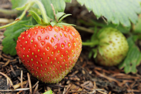Red juicy strawberries on a bed in the garden photo