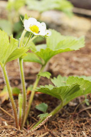 blooming  Strawberries on a bed of in the garden  photo