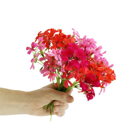 Mans hand with a bouquet of flowers geranium photo