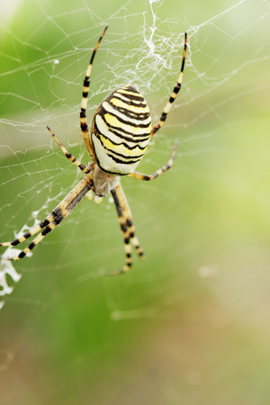 spider Argiope bruennichi weaves a web Stock Photo - 27452697