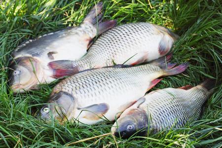 grass carp: Large freshwater fish carp on the grass