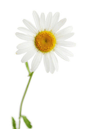 One beautiful daisy isolated on white background