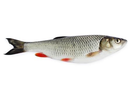chub freshwater fish isolated on white background photo